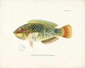 Coastal Decor Fish Art - Natural History Print - Plate IX 10x8
