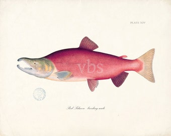 Red Salmon Natural History Fish Art Print 8x10