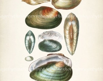 Coastal Decor Antique Sea Shell Giclee Art Print - Plate XXII  8x10