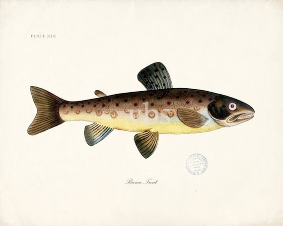 Vintage Brown Trout Natural History Art Print 8x10