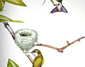 Vintage Menaboni Ruby-throated Hummingbird Print
