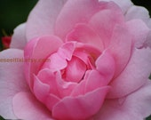 Pink Rose 2 5x7 photo greeting card blank inside