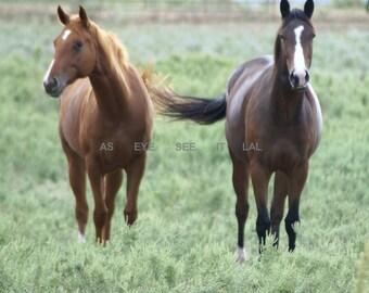 Morgans in field in Texas 4X6 PRINT