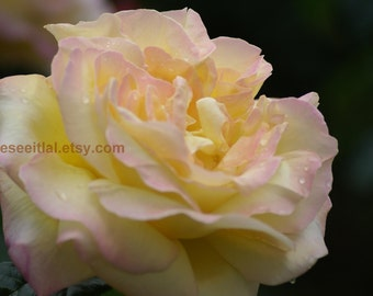 Yellow  white and Pink Rose   5x7 photo greeting card blank inside
