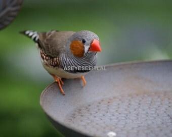 Colorful Finch on bird bath  photo card 5x7
