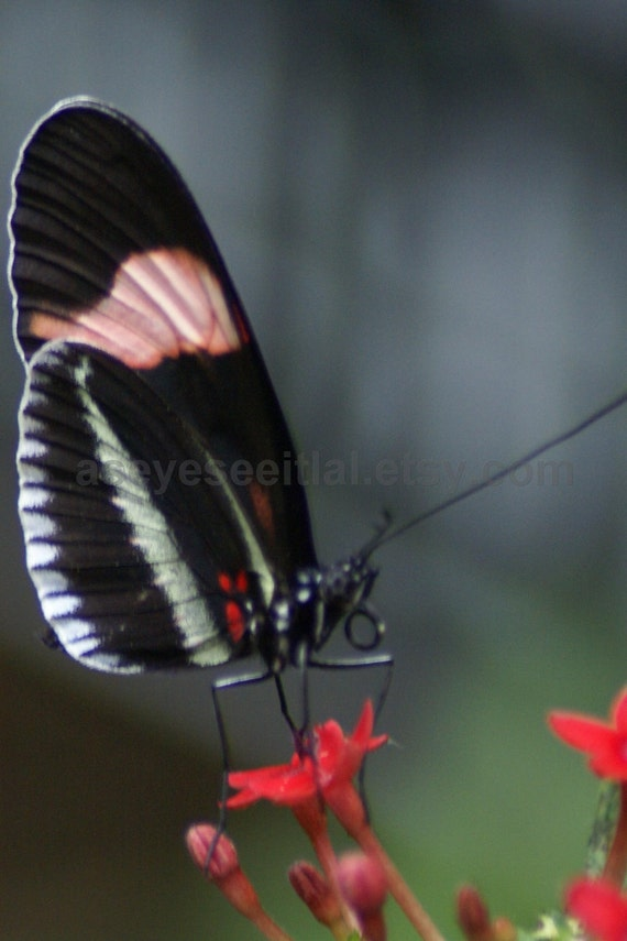 PIANO KEY  Butterfly  5x7 photo greeting card