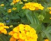 10 New Gold Solid Yellow Mounding Lantana
