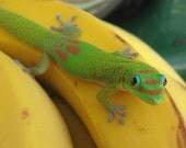 "Gecko Among Us, Hawaiian Day Gecko   8"" x 10"" photograph"