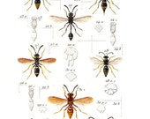 American Wasps 1875 Vintage Insects Print Labus, Odynerus, Pterochilus