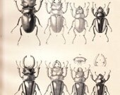 1885 Antique Coleoptera Plate, Entomology, Beetle, Odontolabis stevensi and Odontolabis duivenbodii,  black and white