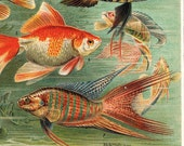 Tropical Fish Print, Aquarium Antique Color Lithograph