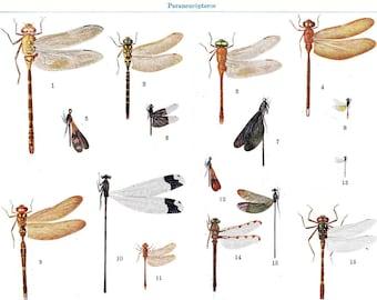 Insects Vintage Print Dragonflies Damselflies Book Illustration 1920s, Entomology