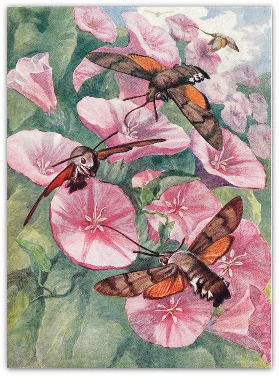 1953  Hummingbird Butterflies Illustration Art Print, Entomology Lithograph
