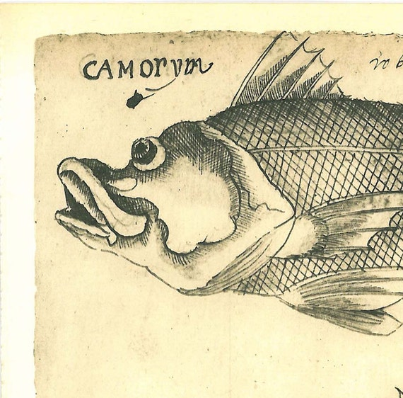 Fishes  Maranhao Natural History Art Print   Brazil Vintage Camorim Guarapecu