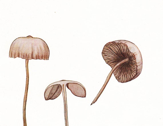 Coprinoid Fungi Mushrooms Vintage Print  1948 to Frame