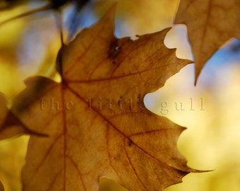 8 x 10 fine art print - Maple Golden