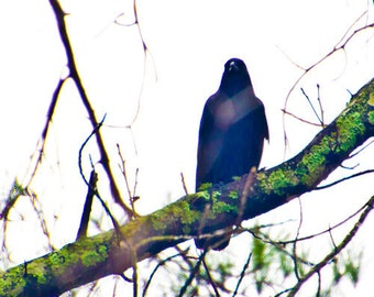 Mysterious Crow on a Mossy Limb - Photography Print