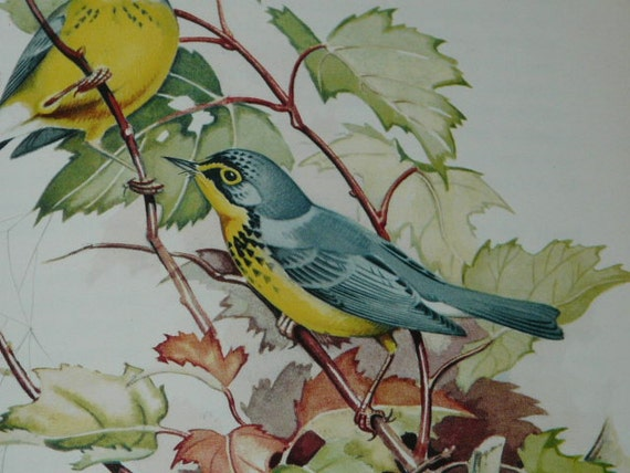 Color Illustrated Bird Book Wood Warblers of America Color Plates Art Song Birds Ludlow Griscom Ornithology Vintage 1957 Hardcover