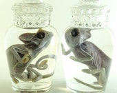 Chameleon Pair Preseved in Apothecary Jars