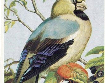 Grosbeak, Bird, Vintage Russian Postcard unused print 1984