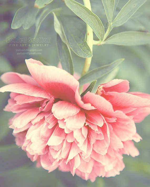 Pink Peony dreamy romantic photograph valentine gift for her home decor wall art flower blossom mint green botanical shabby chic love woman