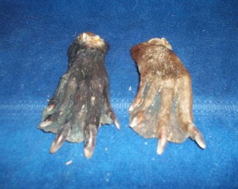 2 real animal feet foot beaver taxidermy claw part weird craft supplies