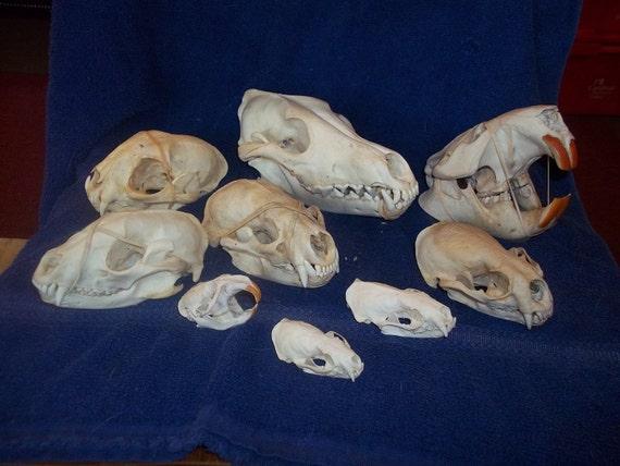 9 Real animal bone  Skull parts