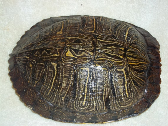 real animal bone Red Ear Slider Turtle Shell part xx large