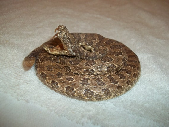 real animal taxidermy  rattle snake mount reptile part