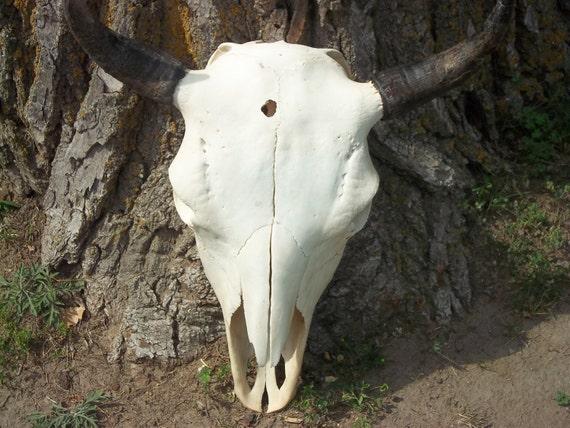 Real animal bone  Buffalo Bison  Skull part