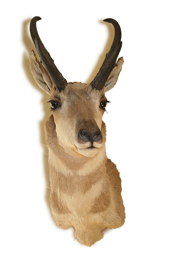 RESERVED FOR AMBER--Vintage Pronghorn taxidermy head and antler mount trophy