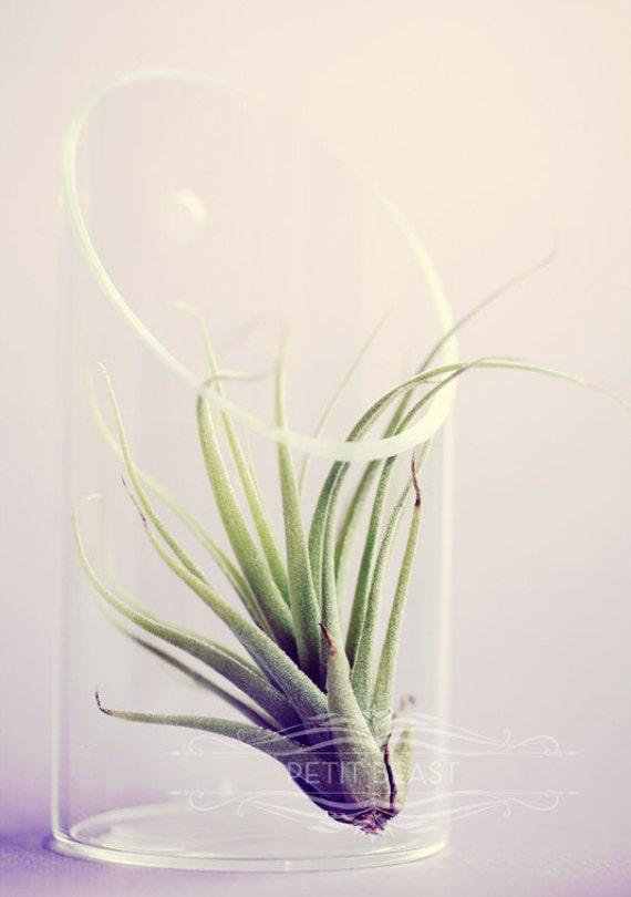 Small / Medium Air Plant and Glass Vase // Wall-Mounted Floating Terrarium DIY Minimalist Garden