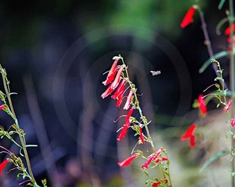 Fine Art Photography, Nature, Nature Art, Pink, Wildflower, Bee, Restaurant Hopping, 8x10, color photo