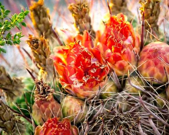 Fine Art Photography, Nature, Nature Art, Orange, Cactus, Desert, Barrel Blooms,8 X 10 fine art photography, Color photo