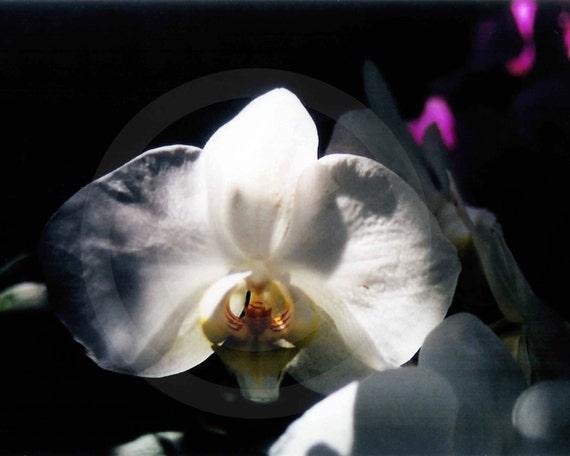 Fine Art Photography, Nature, Nature Art, White, Flower, Orchid,8 X 10 fine art photography, color photo