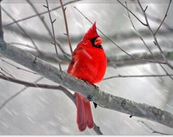 "Cardinal Bird Canvas Photagraphy Art Print Canvas Giclee Art Print (1) 18""x12"""