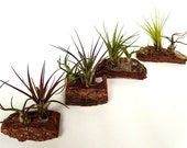 Air Plants Mounted on Natural Tree Bark