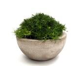 Irish Moss in Concrete Bowl