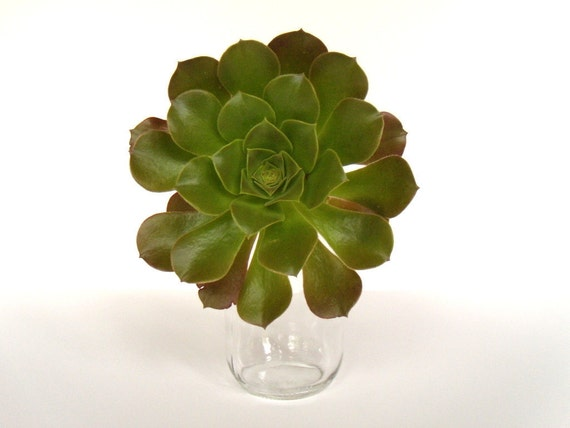 "Jumbo Succulent Cutting Aeonium 7"" in Diameter"