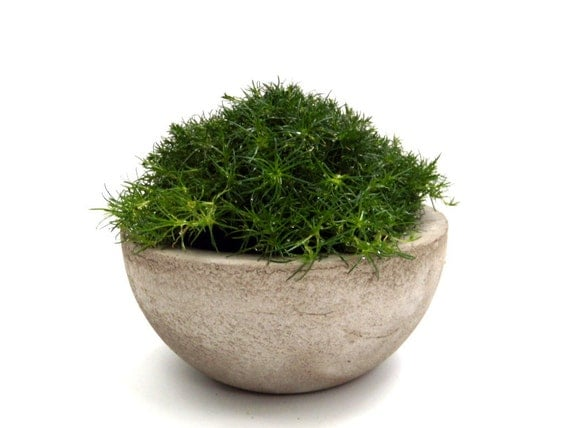 Irish Moss in Concrete Bowl
