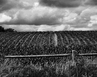 Corn Field 13x19
