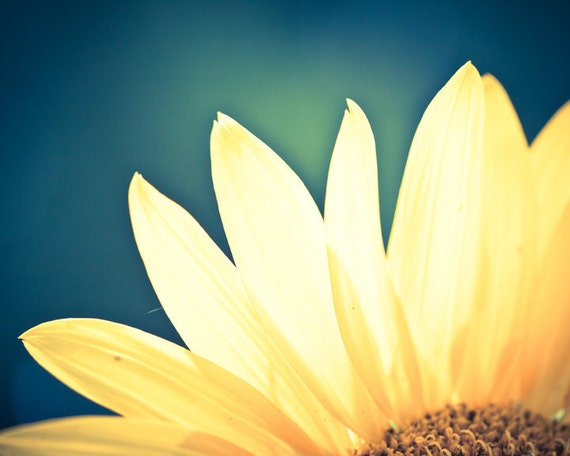 Sunflower - 8 x 10 Fine Art Print, yellow flower, summer, teal, backlit