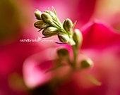 Pink Rose Bud Fine Art Print 11x14