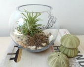 Airplant Terrarium with sea urchins, sea fan, and sea shells
