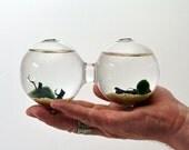 Marimo Aquatic Terrarium - Japanese Moss Ball - Double Aquarium - Home Decor - Office Decor - Green Gift
