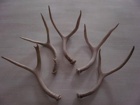 5 beautiful natural deer antlers-horns-antler-real-sheds-centerpiece-gift