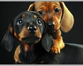 4 Dog Puppy Dachshund Greeting Notecards/ Envelopes Set