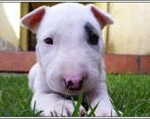 4 Dog Puppy English Bull Terrier Dogs Puppies Greeting Notecards/ Envelopes Set