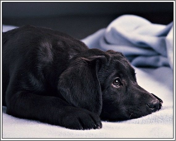 4 Dog Puppy Black Labrador Retriever Greeting Notecards/ Envelopes Set