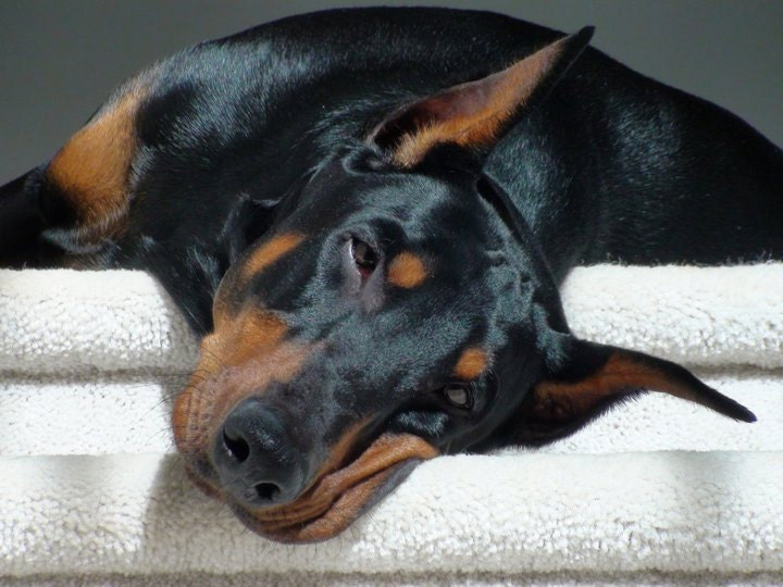 Pinscher Puppy Names 4 Dog Puppy Doberman Pinscher